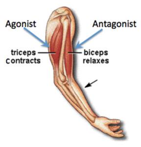Agonist-Antagonist-Muscle-Demonstration_Nov-2014-288x300
